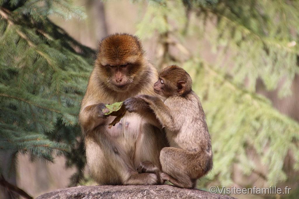 Singes Magot à la montagne des singes