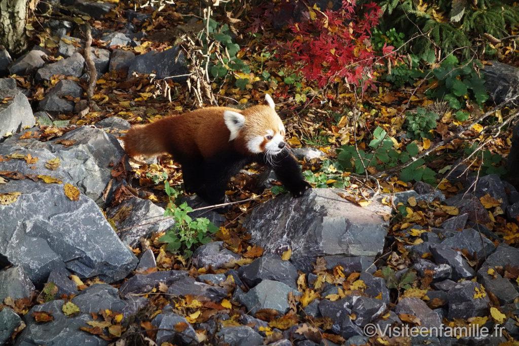 panda roux sur une pierre au parc de Sainte-Croix