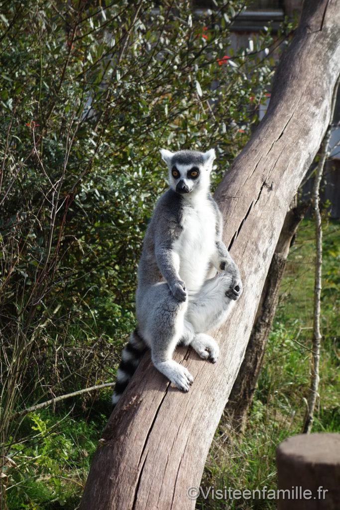 Lémurien sur un arbre parc de Sainte-Croix