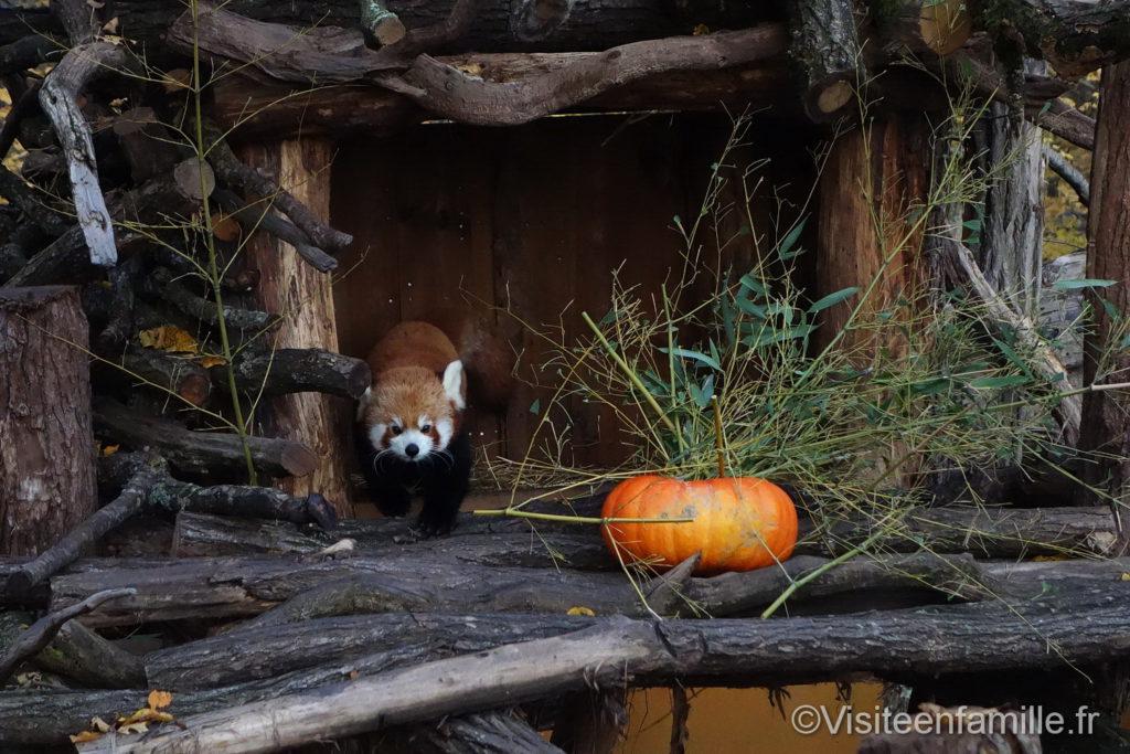 Panda roux parc de Sainte-Croix