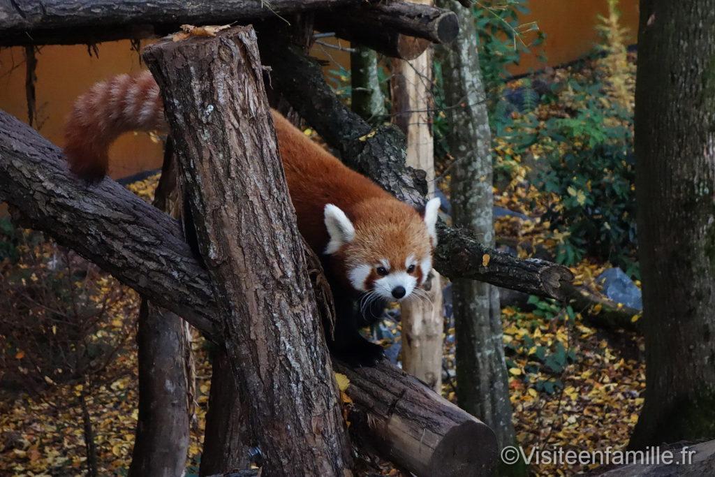 Panda roux dans les arbres parc de Sainte-Croix