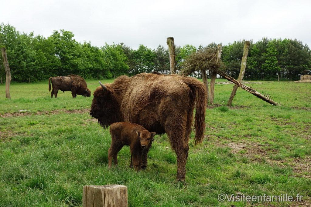 Des bisons parc de Sainte-Croix