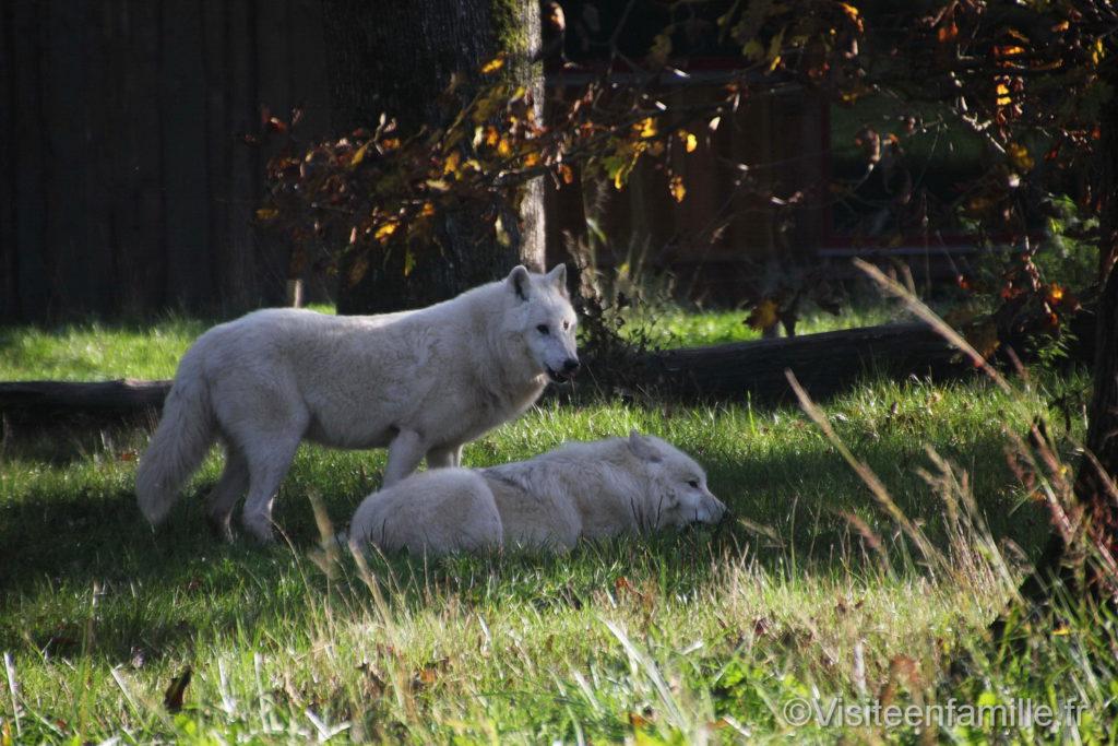Loup blanc au parc de Sainte-Croix