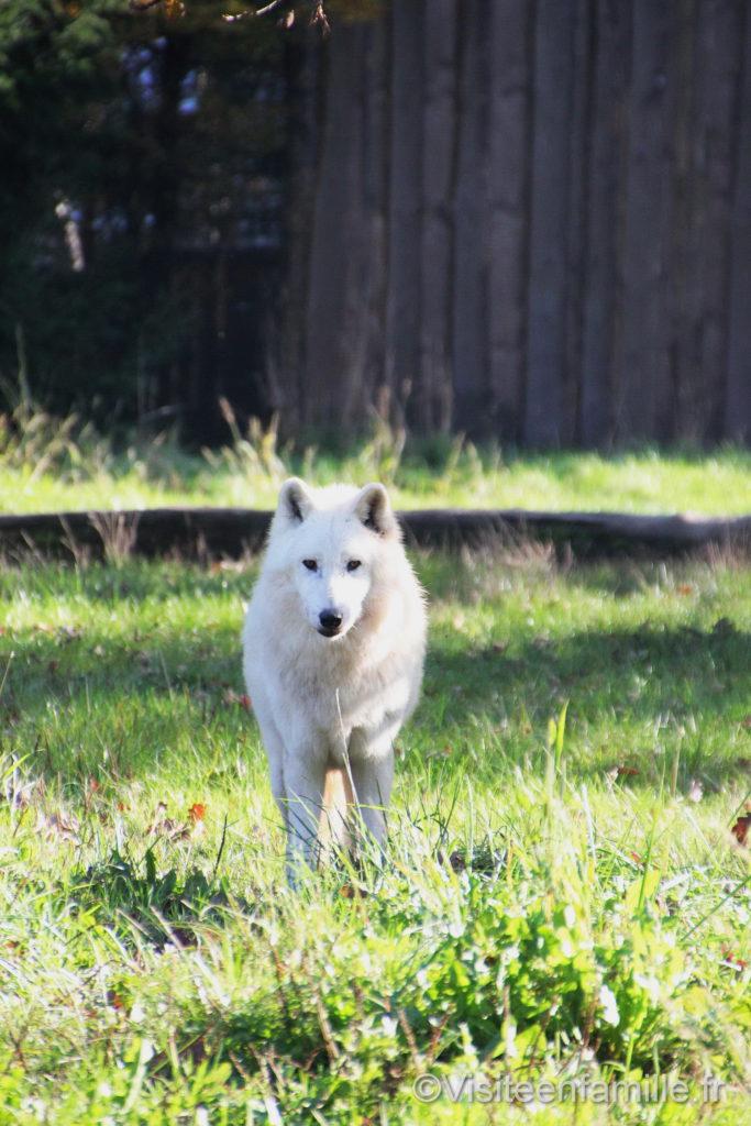 Loup blanc qui regarde au parc de Sainte-Croix