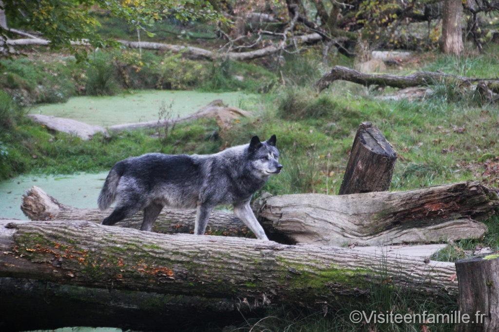 loup gris parc de Sainte-Croix