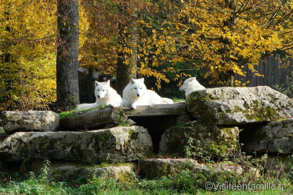 Meute de loups blancs parc de Sainte-Croix