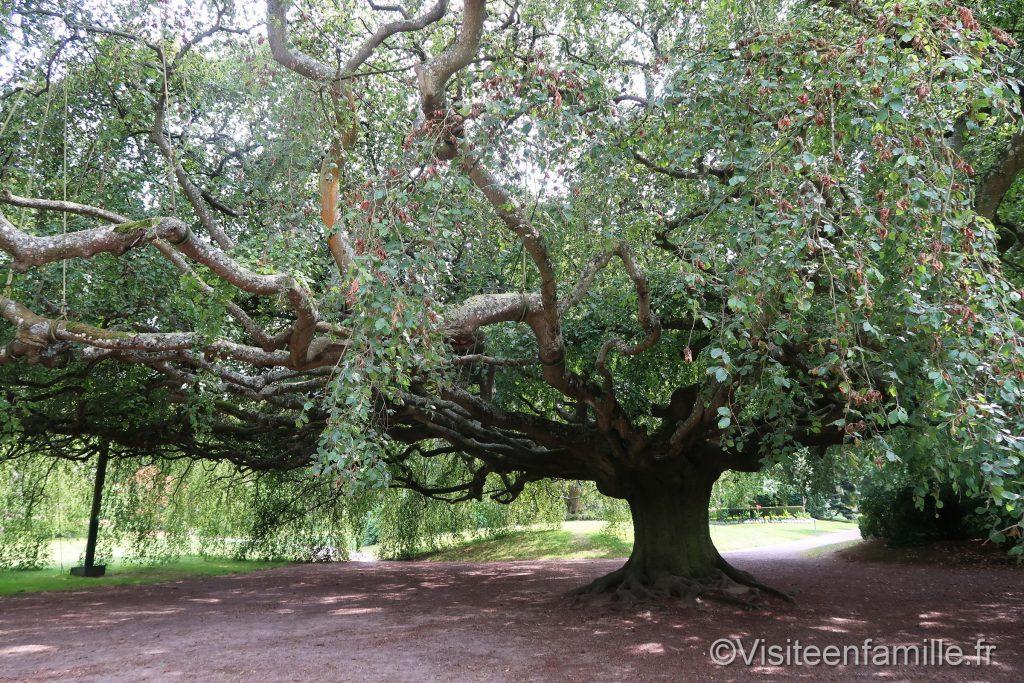 Hêtre pleureur jardin botanique Bayeux