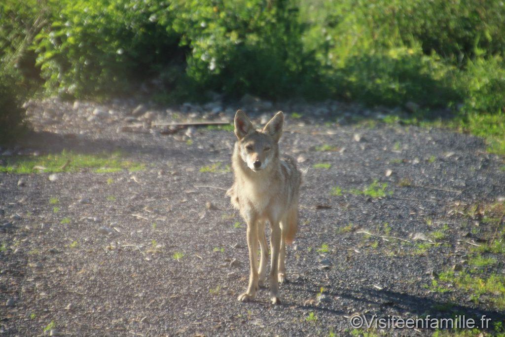 Coyote du parc sainte croix