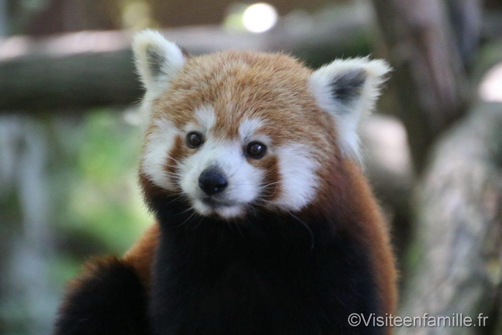 Panda roux du parc sainte croix