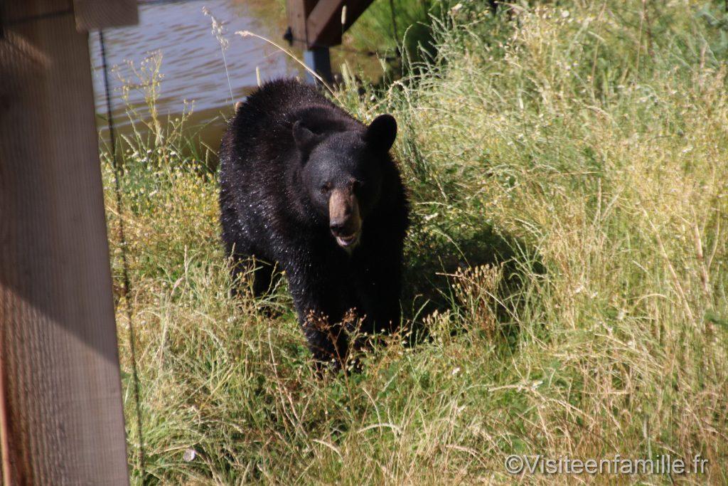 ours noir depuis la terrasse du lodge au Parc animalier de Sainte-Croix