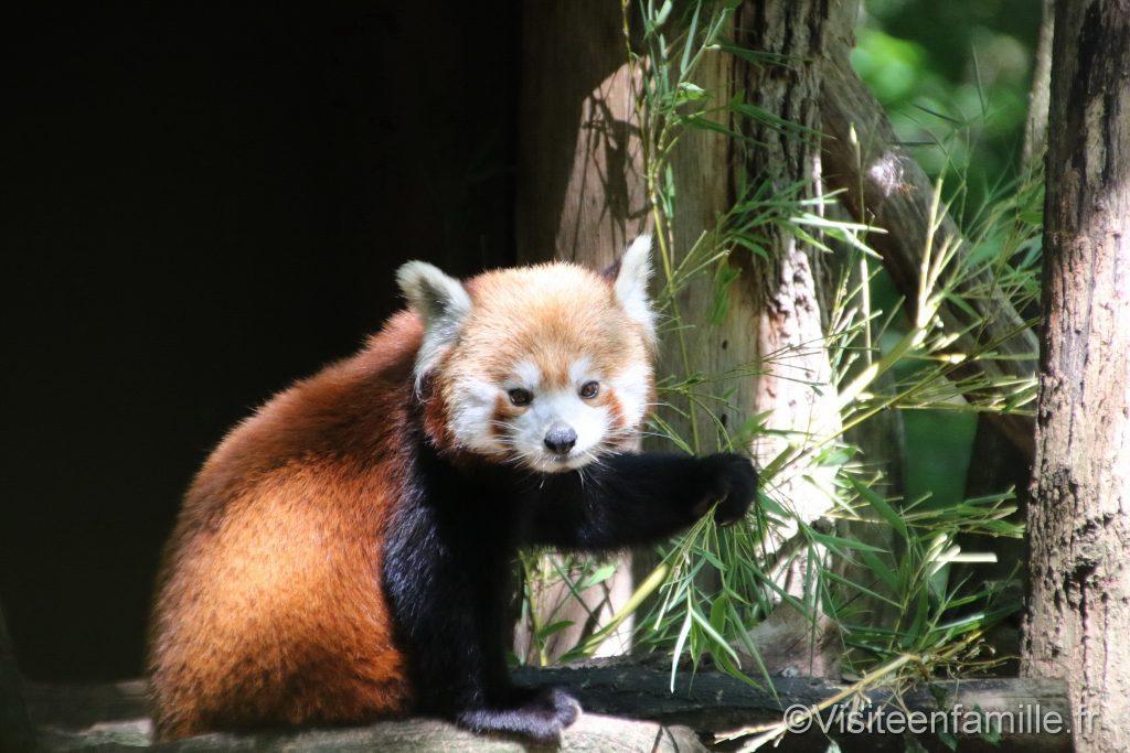 panda roux qui regarde du parc sainte croix
