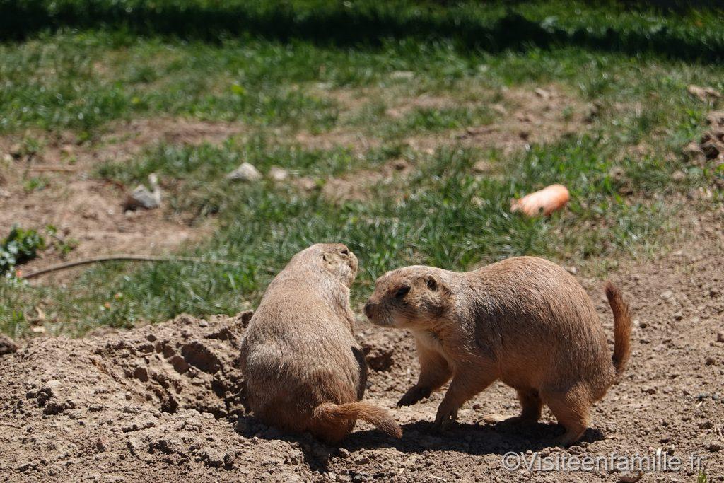 2 chiens de prairie du parc sainte croix