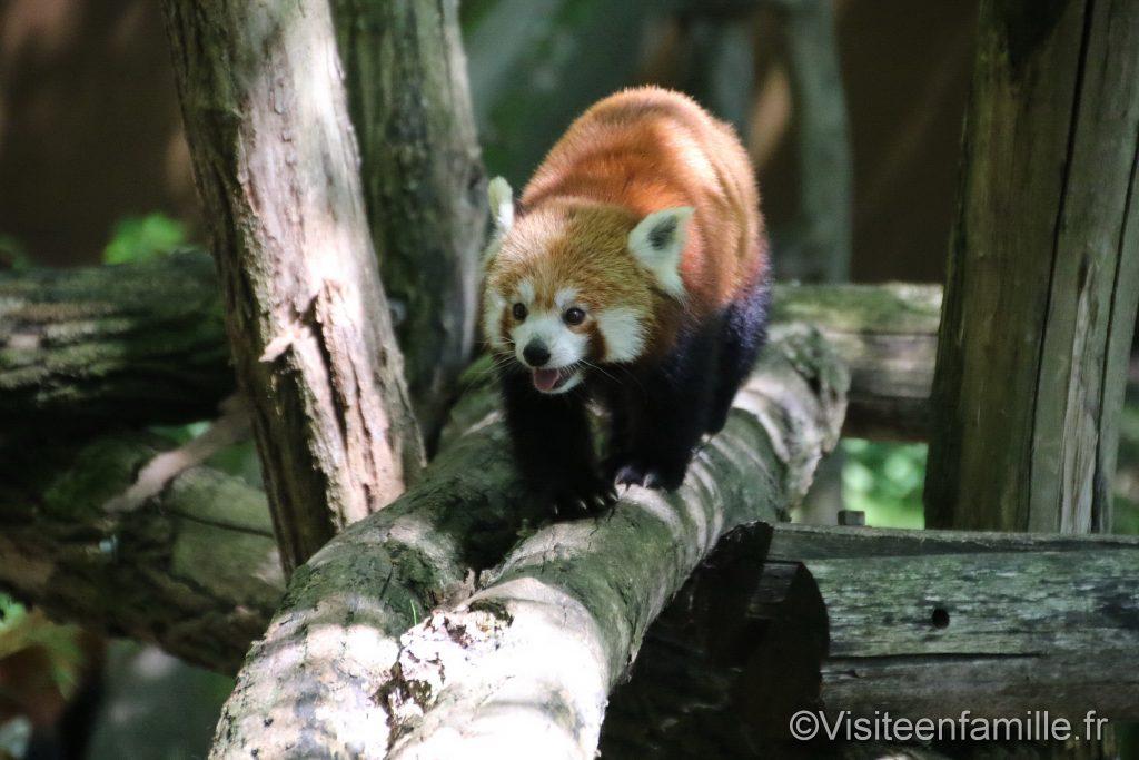 panda roux sur tronc d'arbre du parc sainte croix
