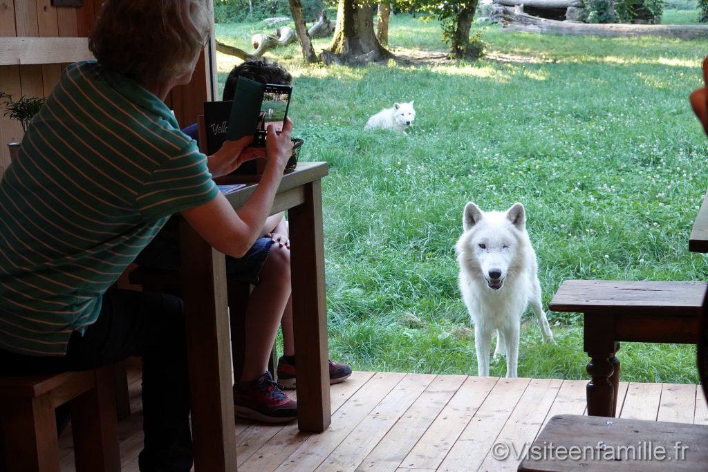 Loup blanc au Comptoir du Trappeur