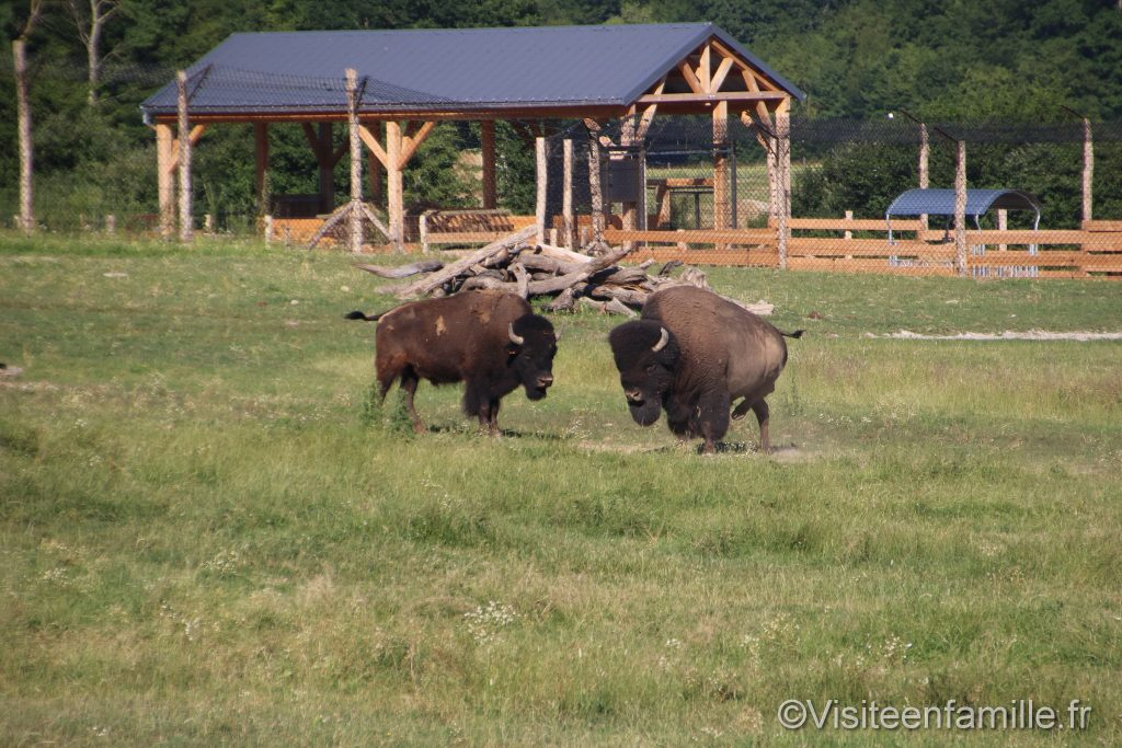 bison depuis la terrasse du lodge ours noir du parc sainte croix