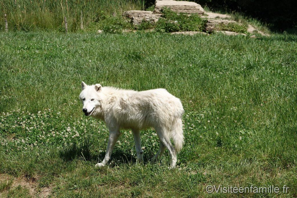 Loup blanc Comptoir du Trappeur parc sainte croix