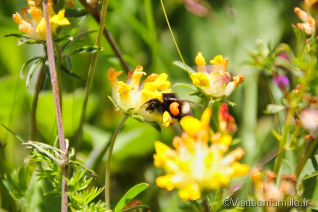 Abeille sur une fleur au Puy de Dôme